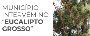 "Município intervém no ""Eucalipto Grosso"""